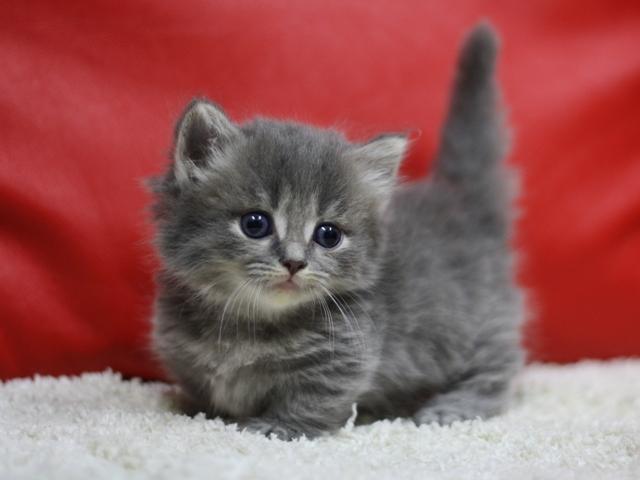 グレーの子猫マンチカン