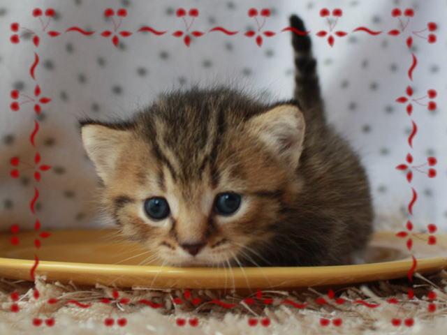 子猫 マンチカン