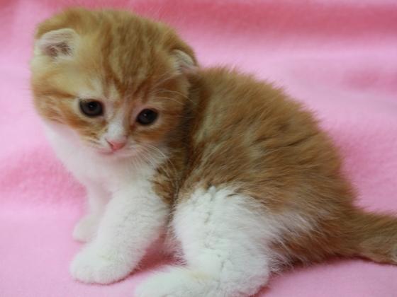 スコティッシュフォールドの子猫販売 スコティッシュフォールド