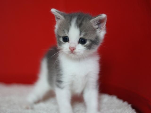 スコティッシュフォールドの子猫販売 ブリーダーの出産情報 猫