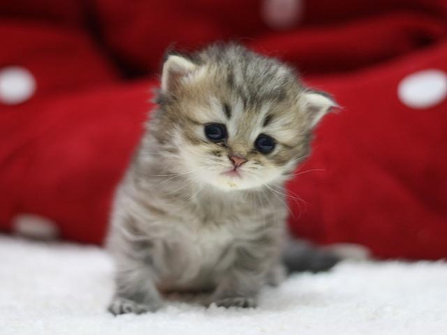 ペルシャチンチラの子猫